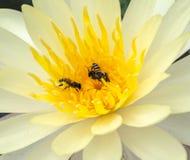 Abejas en el polen amarillo del loto blanco Foto de archivo libre de regalías