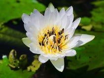 Abejas en el polen del loto blanco Fotos de archivo