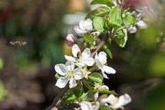 Abejas en el primer de la flor de las flores de cerezo Fotos de archivo libres de regalías