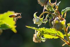 Abejas en el trabajo sobre la flor de la frambuesa Fotografía de archivo libre de regalías