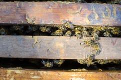 Abejas en el viejo marco con la miel Imagen de archivo libre de regalías