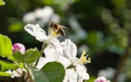 Abejas en flor de la manzana Fotos de archivo libres de regalías
