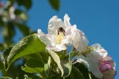 Abejas en flor de la manzana Fotografía de archivo