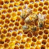 Abejas en honeycells Imagen de archivo
