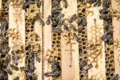 Abejas en honeycells Fotos de archivo