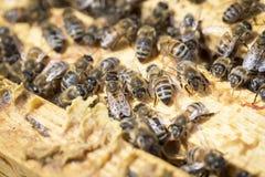 Abejas en honeycells Foto de archivo