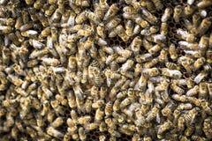 Abejas en honeycells Fotos de archivo libres de regalías