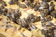 Abejas en honeycells Imágenes de archivo libres de regalías