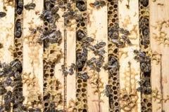 Abejas en honeycells Foto de archivo libre de regalías