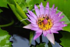 Abejas en jardines tropicales con la flor de loto rosada Imagen de archivo libre de regalías