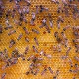 Abejas en la célula de la miel Imagenes de archivo