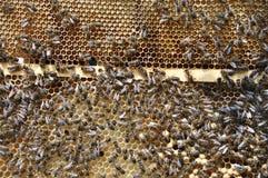 Abejas en la colmena con la miel en el frame_2 Fotos de archivo libres de regalías