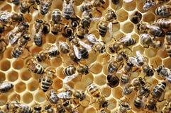 Abejas en la colmena con la miel en el marco Imagen de archivo libre de regalías