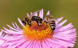 Abejas en la flor. Fotos de archivo libres de regalías