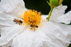 Abejas en la flor Imagen de archivo