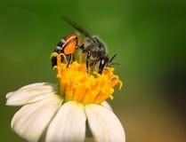 Abejas en la flor Fotografía de archivo libre de regalías
