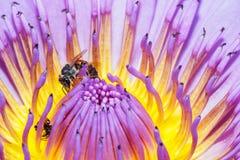 Abejas en la flor Fotografía de archivo
