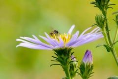 Abejas en la flor Imagenes de archivo