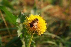 Abejas en la flor amarilla brillante Imágenes de archivo libres de regalías