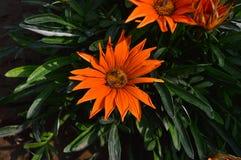 Abejas en la flor anaranjada Fotos de archivo libres de regalías