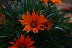 Abejas en la flor anaranjada Foto de archivo libre de regalías