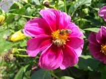 Abejas en la flor de la dalia Imágenes de archivo libres de regalías