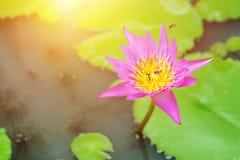 Abejas en la flor de loto El loto hermoso con las abejas pulula en el pon Foto de archivo libre de regalías