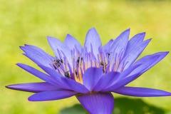 Abejas en la flor de loto púrpura Imágenes de archivo libres de regalías