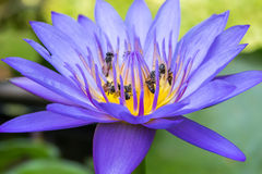 Abejas en la flor de loto púrpura Fotos de archivo libres de regalías