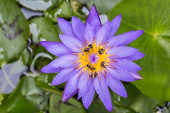 Abejas en la flor de loto púrpura Foto de archivo libre de regalías