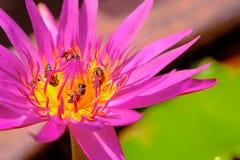 Abejas en la flor de loto púrpura hermosa Imagenes de archivo