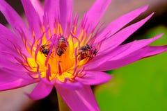 Abejas en la flor de loto púrpura hermosa Imagen de archivo libre de regalías