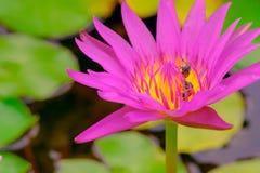 Abejas en la flor de loto púrpura hermosa Foto de archivo