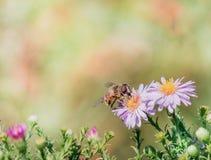 Abejas en la flor en el trabajo Imagen de archivo