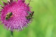 Abejas en la flor púrpura Fotos de archivo libres de regalías