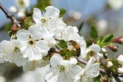 Abejas en la manzana 10 de las flores Foto de archivo
