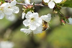 Abejas en la manzana 11 de las flores Imágenes de archivo libres de regalías