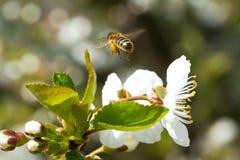 Abejas en la manzana 9 de las flores Fotografía de archivo