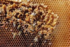 Abejas en la superficie del panal del panal, miel jugosa superficial de oro de la primavera Imagenes de archivo