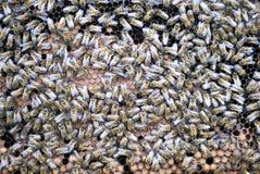 Abejas en las células de la miel Imágenes de archivo libres de regalías