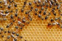Abejas en las células de la miel Imagenes de archivo