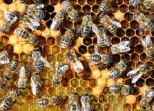 Abejas en las células de la miel con la abeja reina en el centro Imágenes de archivo libres de regalías