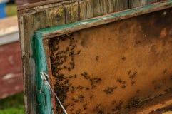 Abejas en las abejas de la colmena en la colmena Foto de archivo