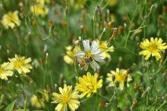 Abejas en las flores Foto de archivo libre de regalías