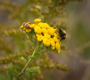 Abejas en las flores amarillas Foto de archivo libre de regalías