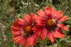 Abejas en las flores del Helenium Imagenes de archivo