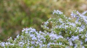 Abejas en las flores del romero Imagen de archivo libre de regalías