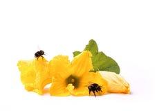 Abejas en las flores del ` s del calabacín Imagenes de archivo