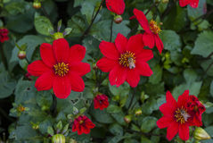 Abejas en las flores rojas Fotos de archivo