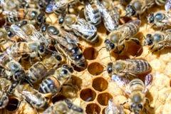 Abejas en las pruebas en los peines que comen la miel Imagenes de archivo
